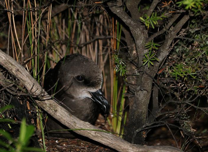 Visit the Grey-faced petrel burrows