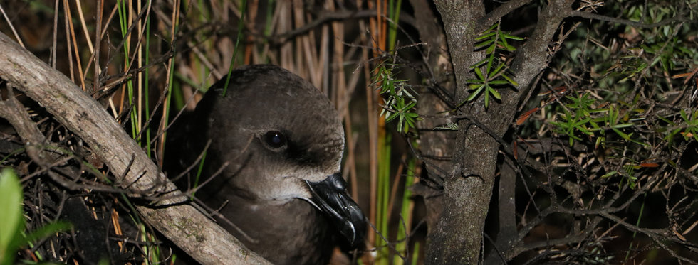 Visit the Grey-faced petrel burrows