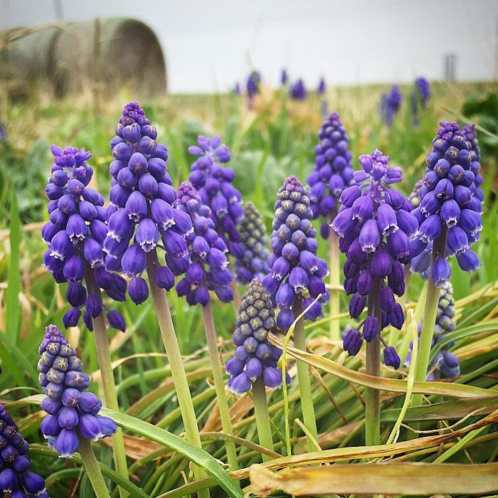 FLower purple lupine