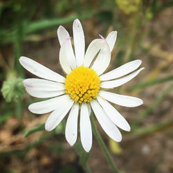 Daisy True