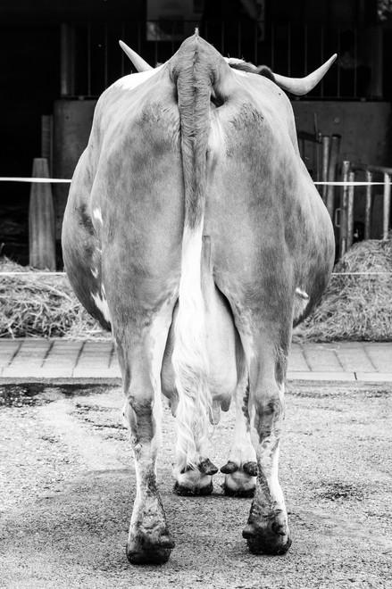cow, 2014