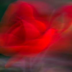 Rose gestisch