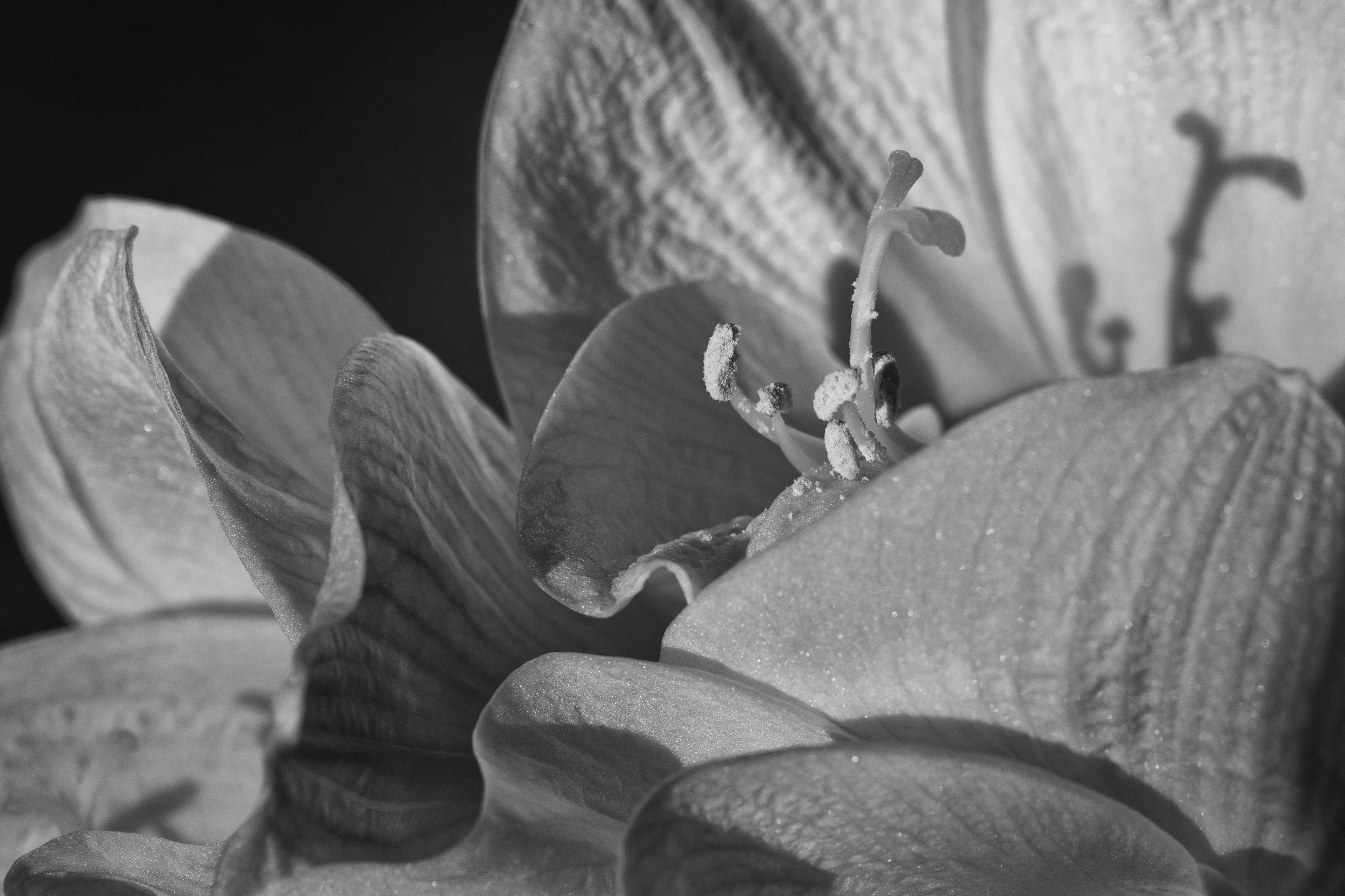 Amaryllisdetail