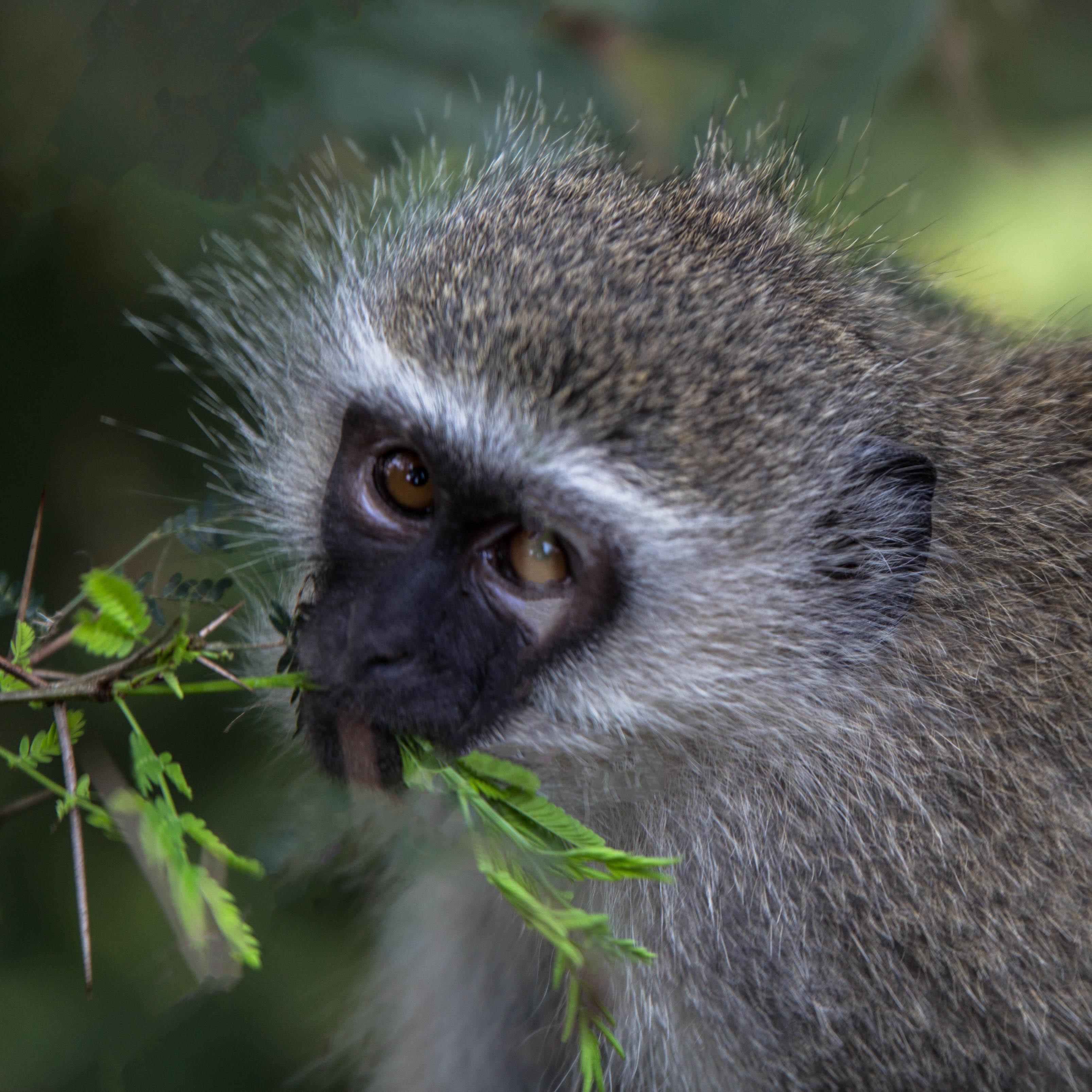 Affenmahlzeit