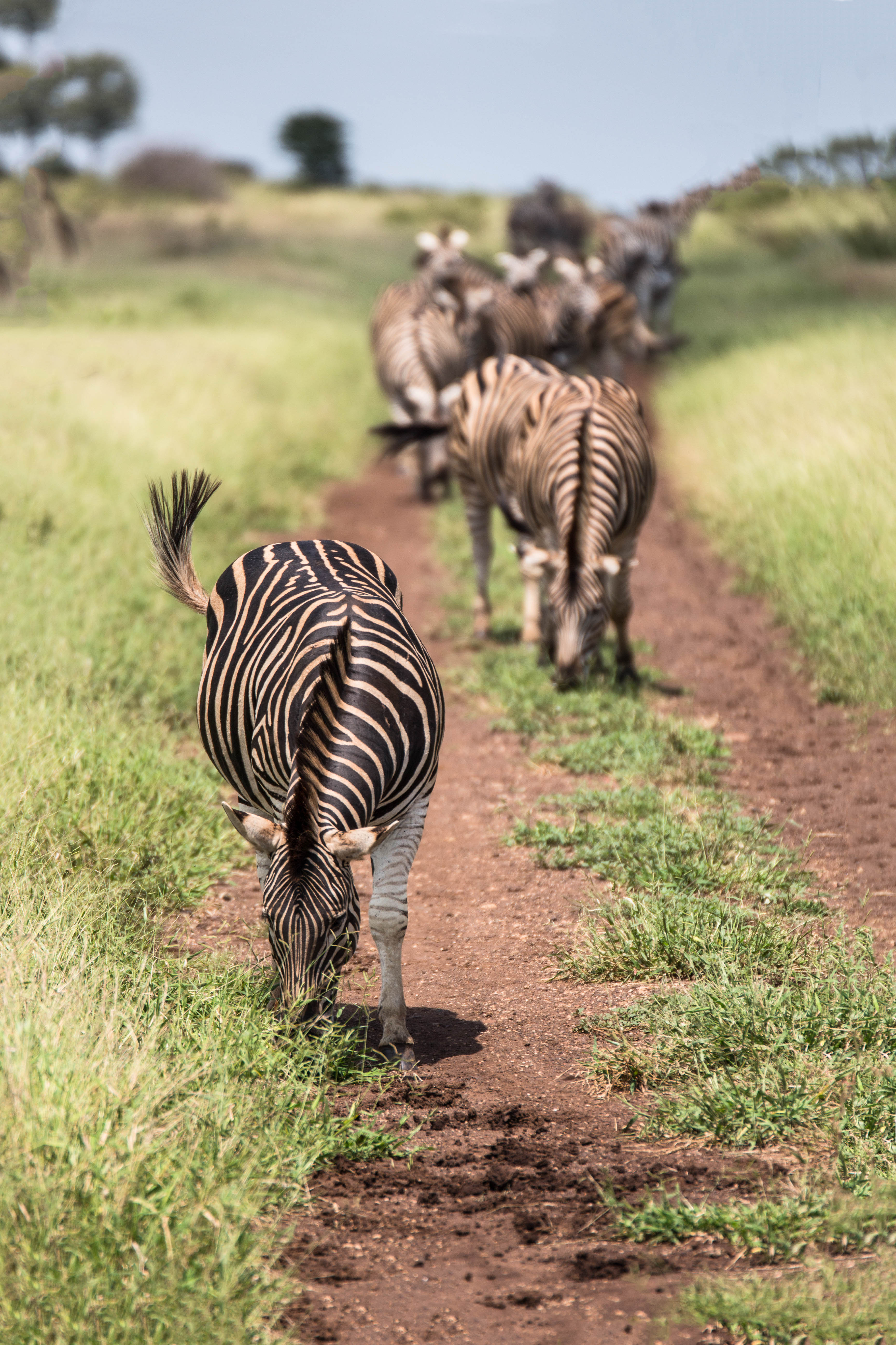 Zebras soweit das Auge reicht