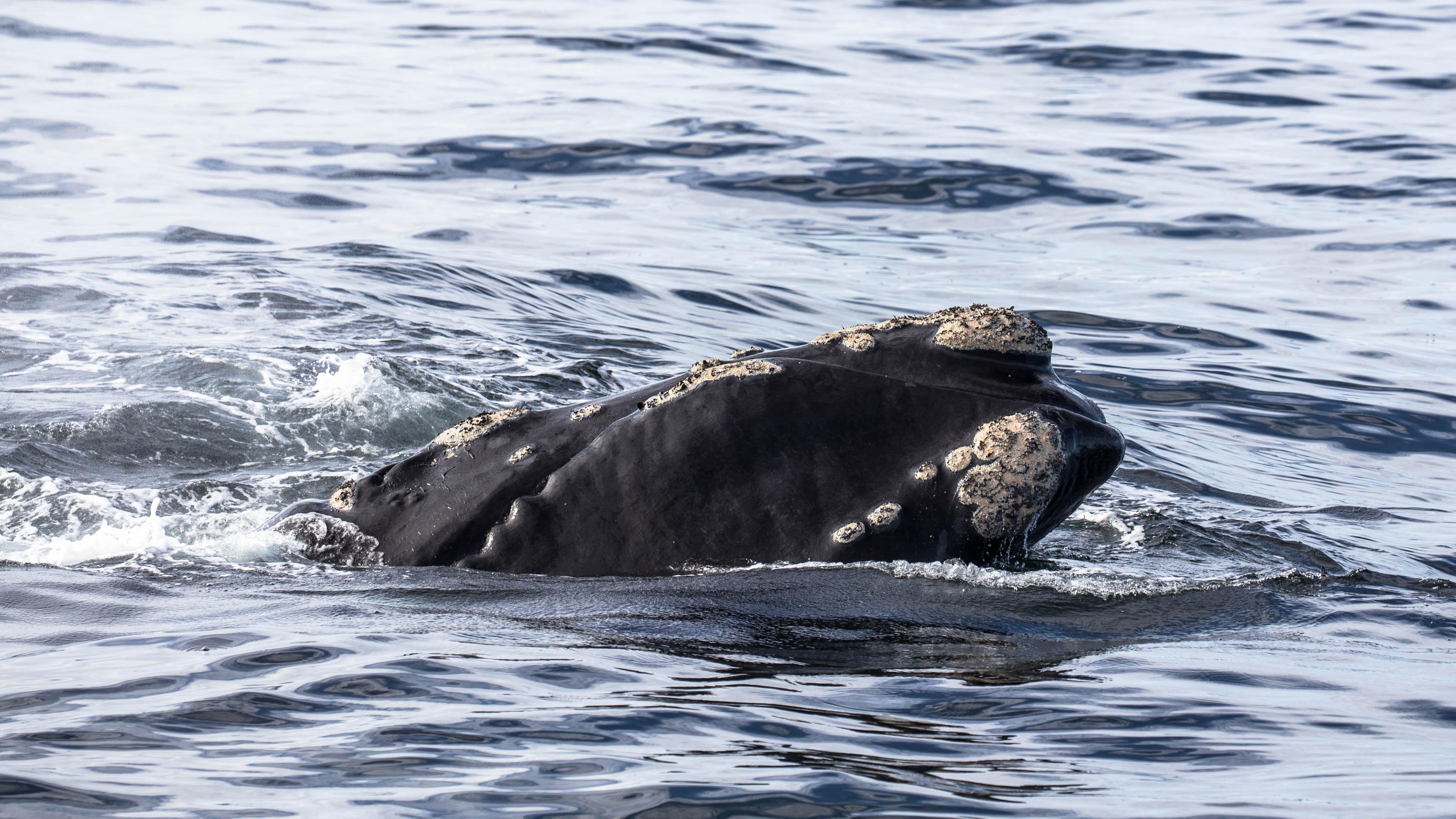 Wal bei Hermanus