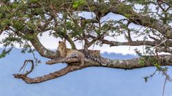 Leopardin mit Tochter