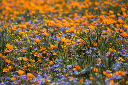 Namaqualand-Blütenteppich