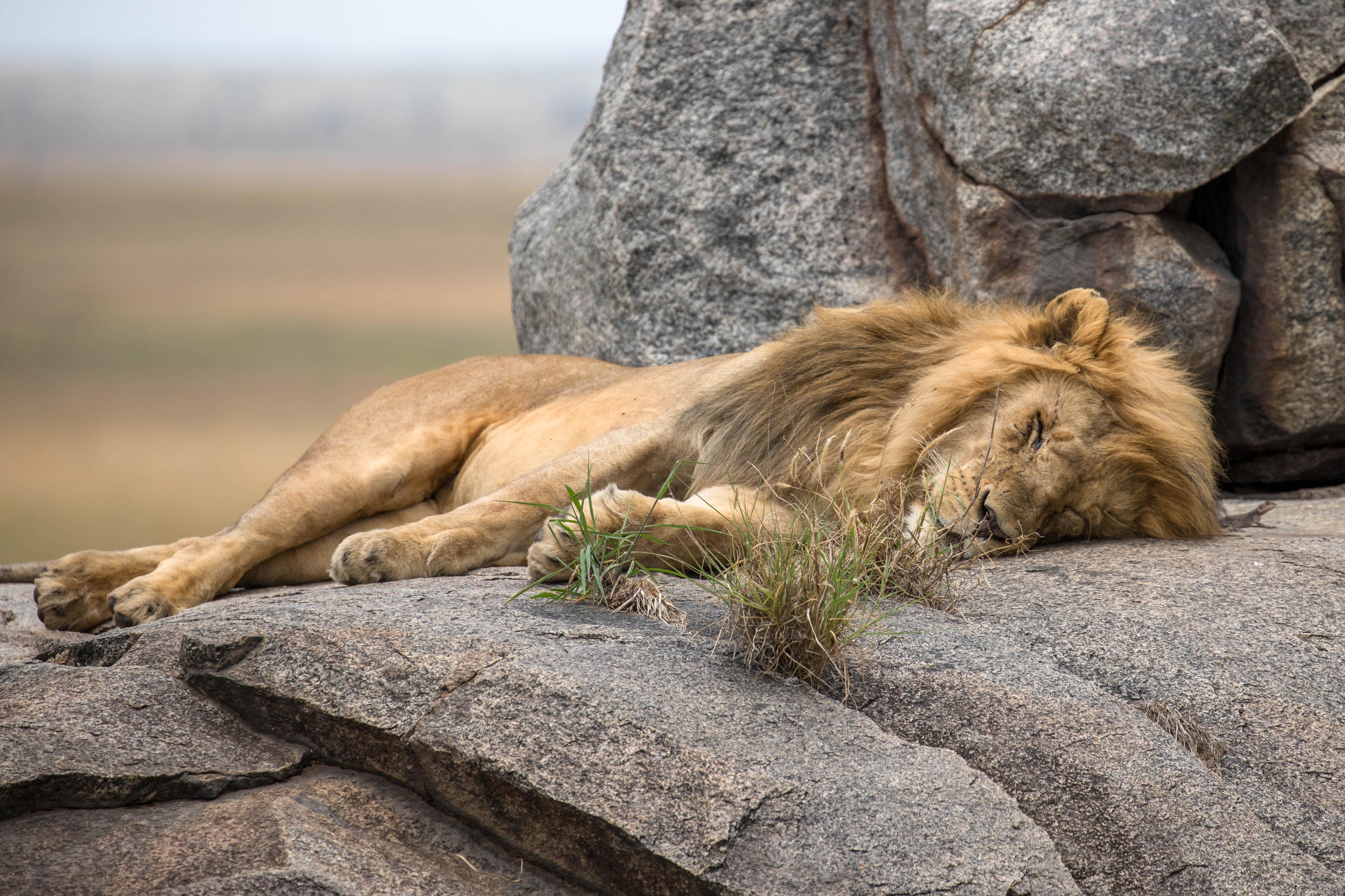 Der schläfrige Löwe