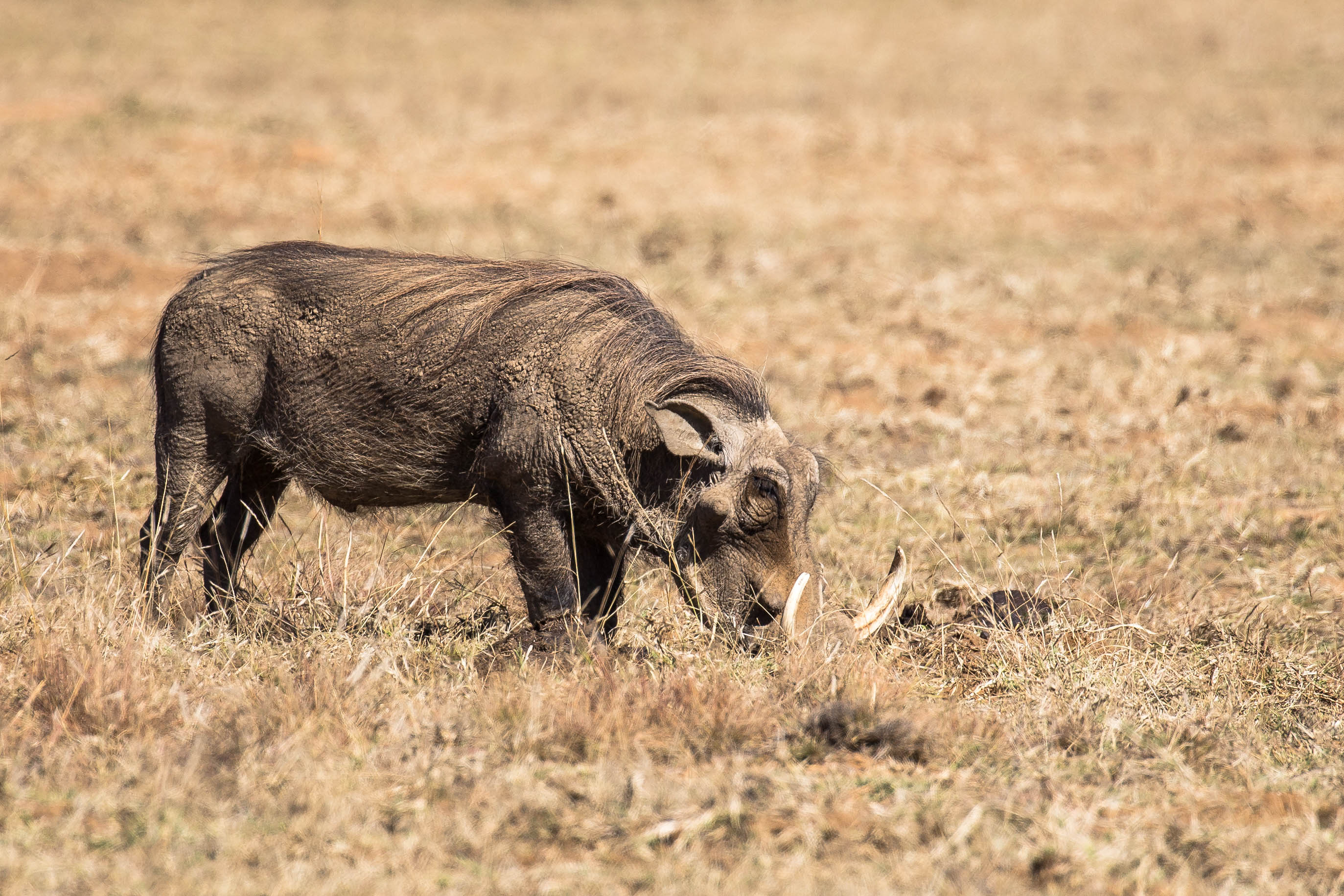 Ein starker Warzenschweinkeiler