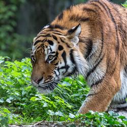 Majestätischer Tiger