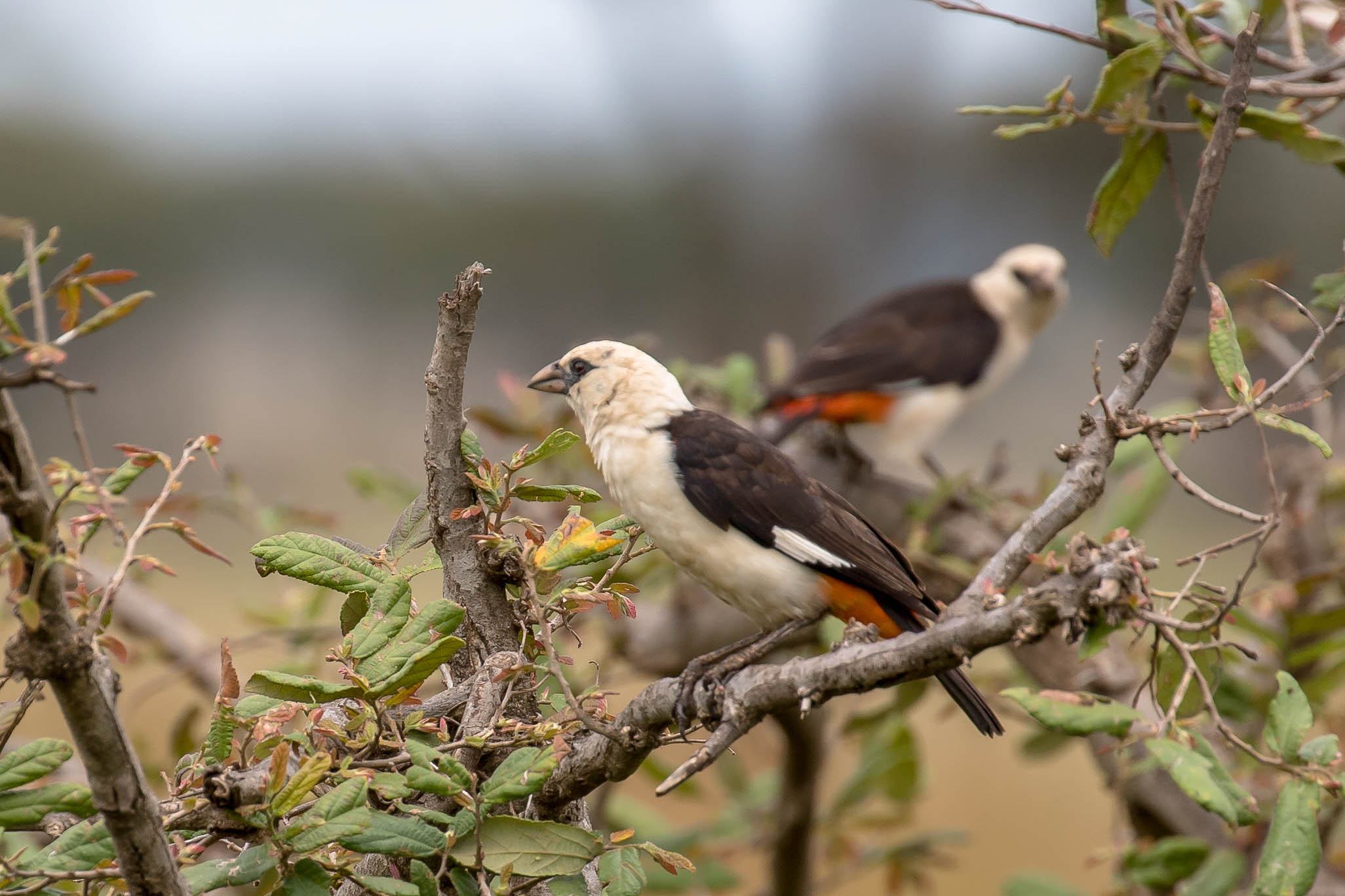Starwebervögel