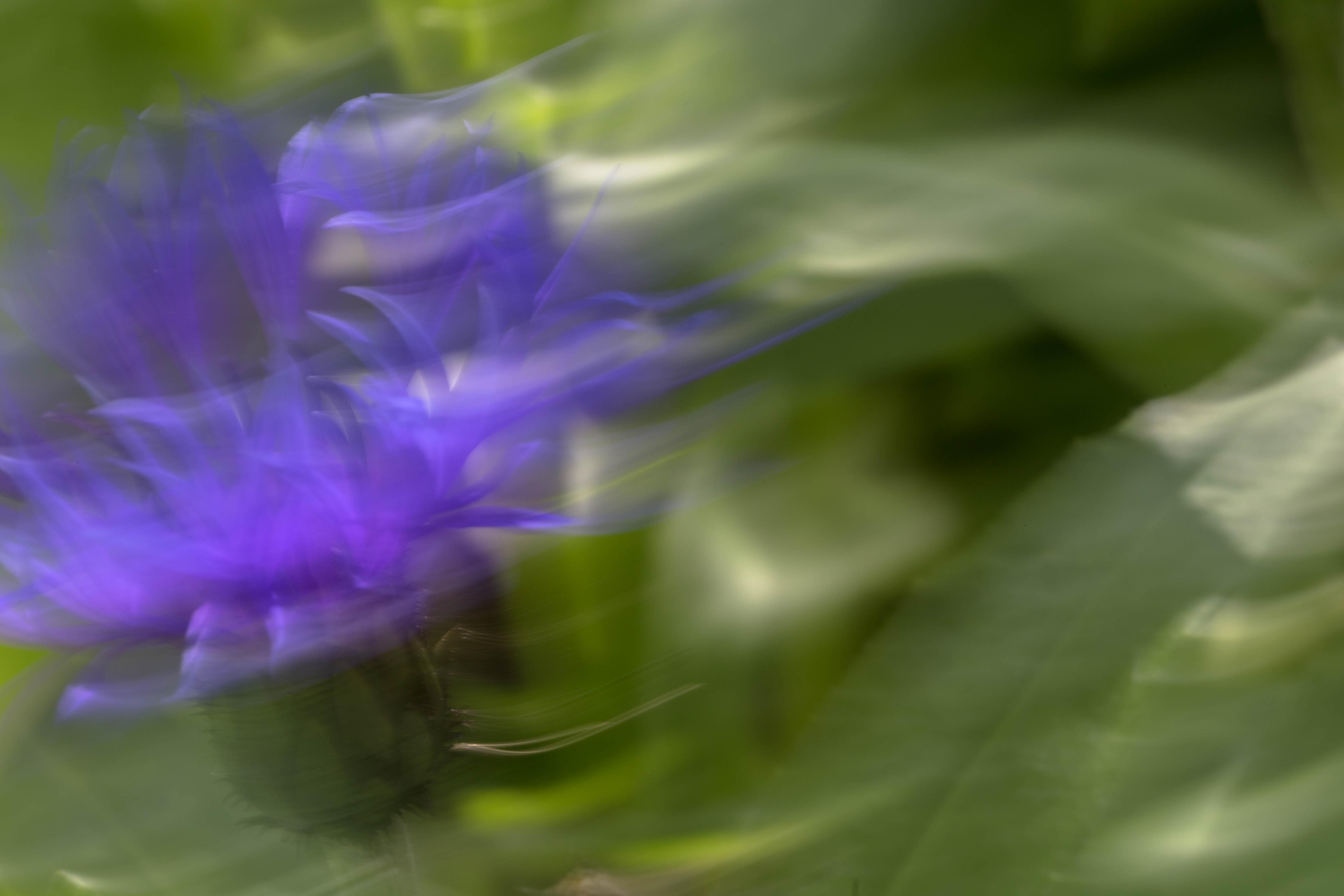 Bergflockenblume