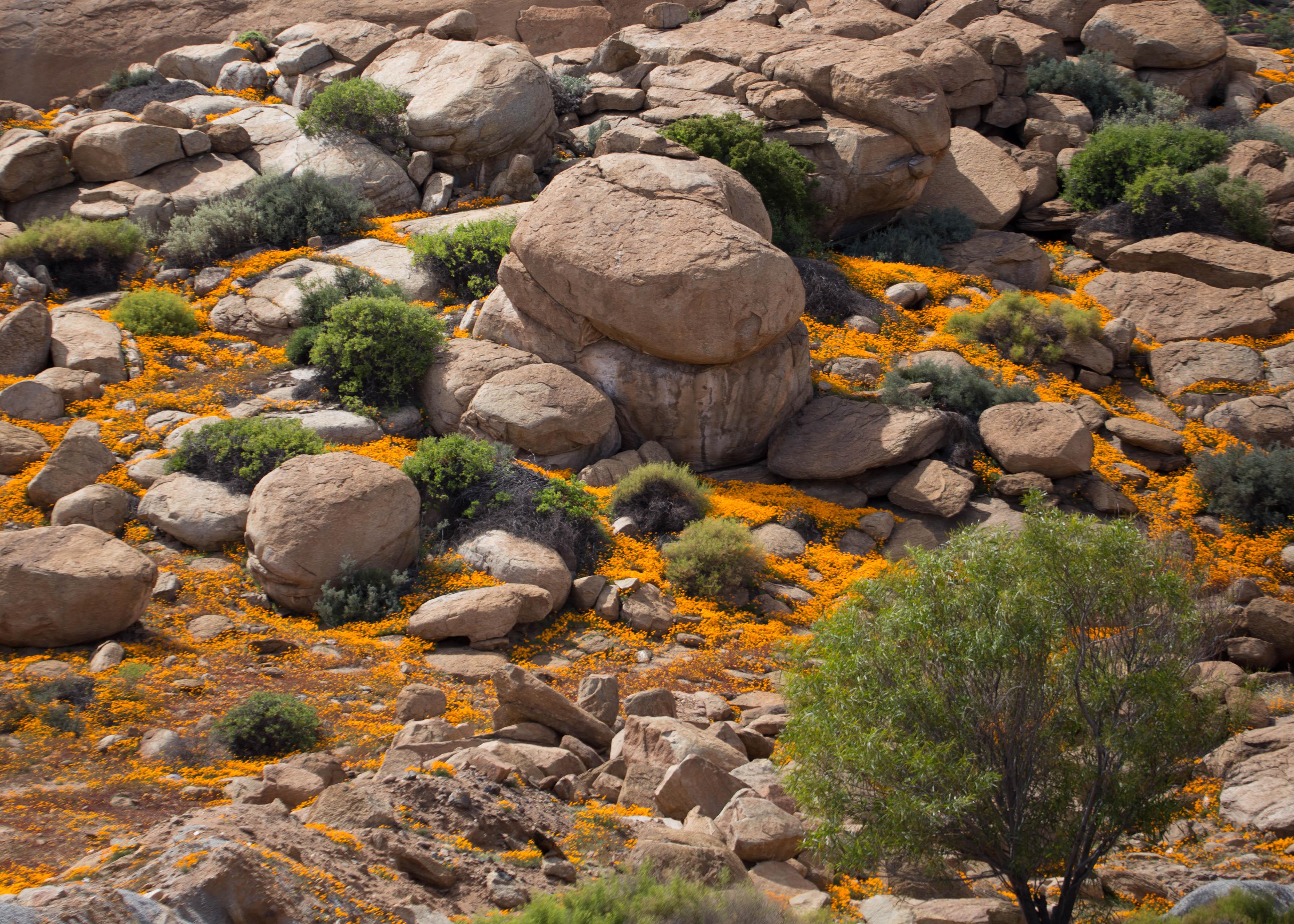 Frühling im Namaqualand