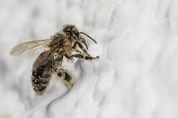 Die kranke Biene