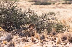 Gepardin nahe Solitaire