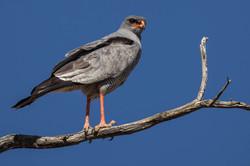 Singhabicht in der Kalahari