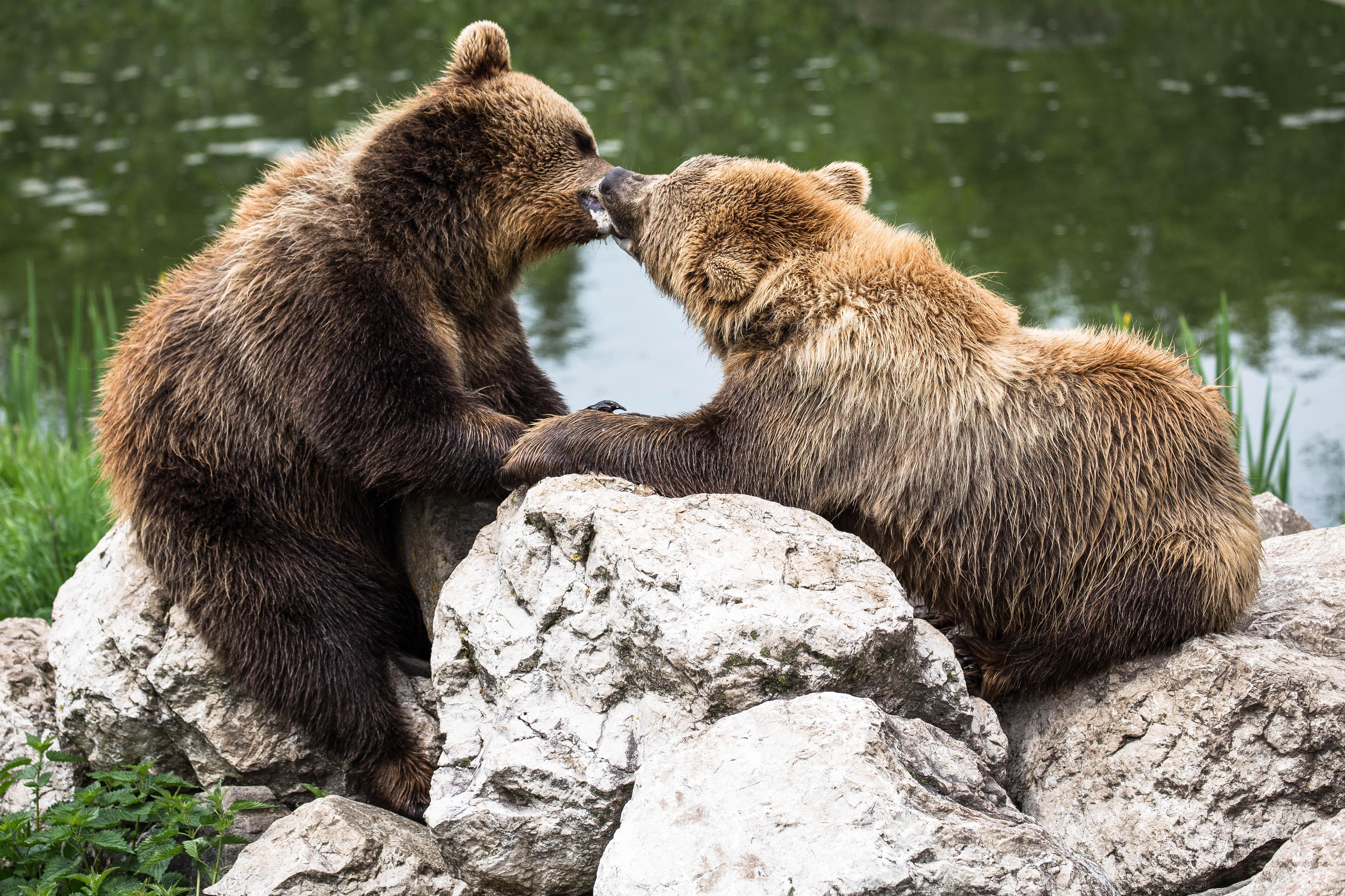 Spielende Bären