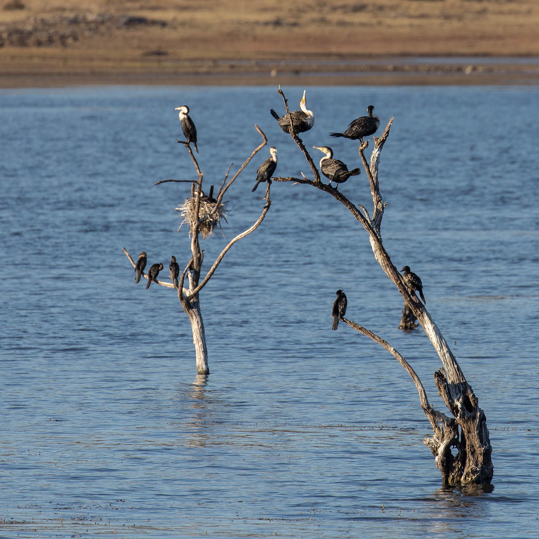 Kormorane im Pilanesberg NP