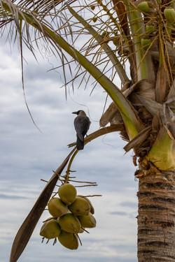 Die Krähe in der Kokospalme