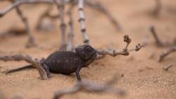 Ein Chamäleonbaby