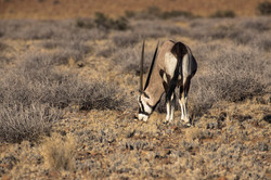 Oryx das Wappentier Namibias