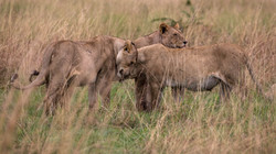 Kuscheln der Löwinnen