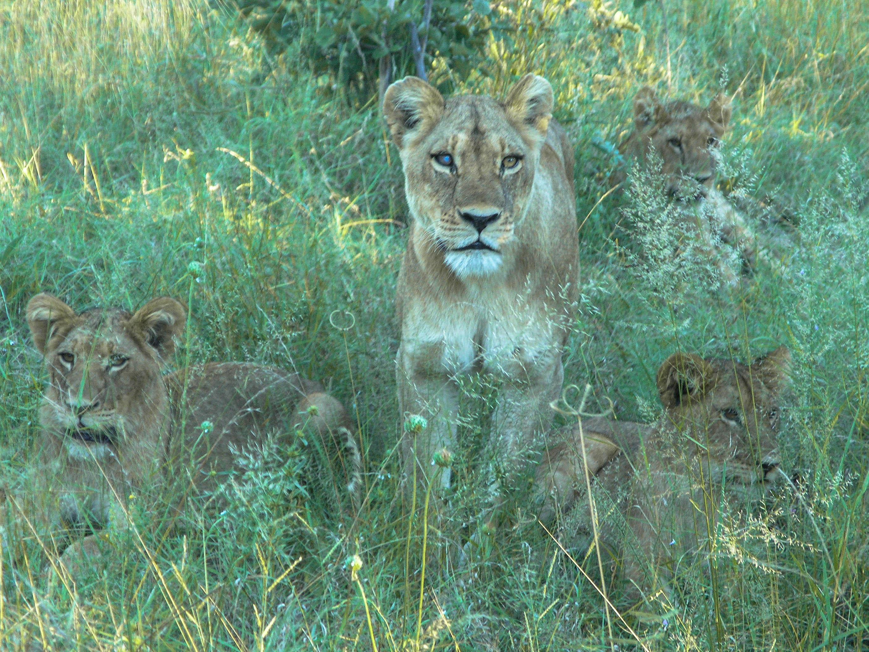 Löwen am frühen Morgen