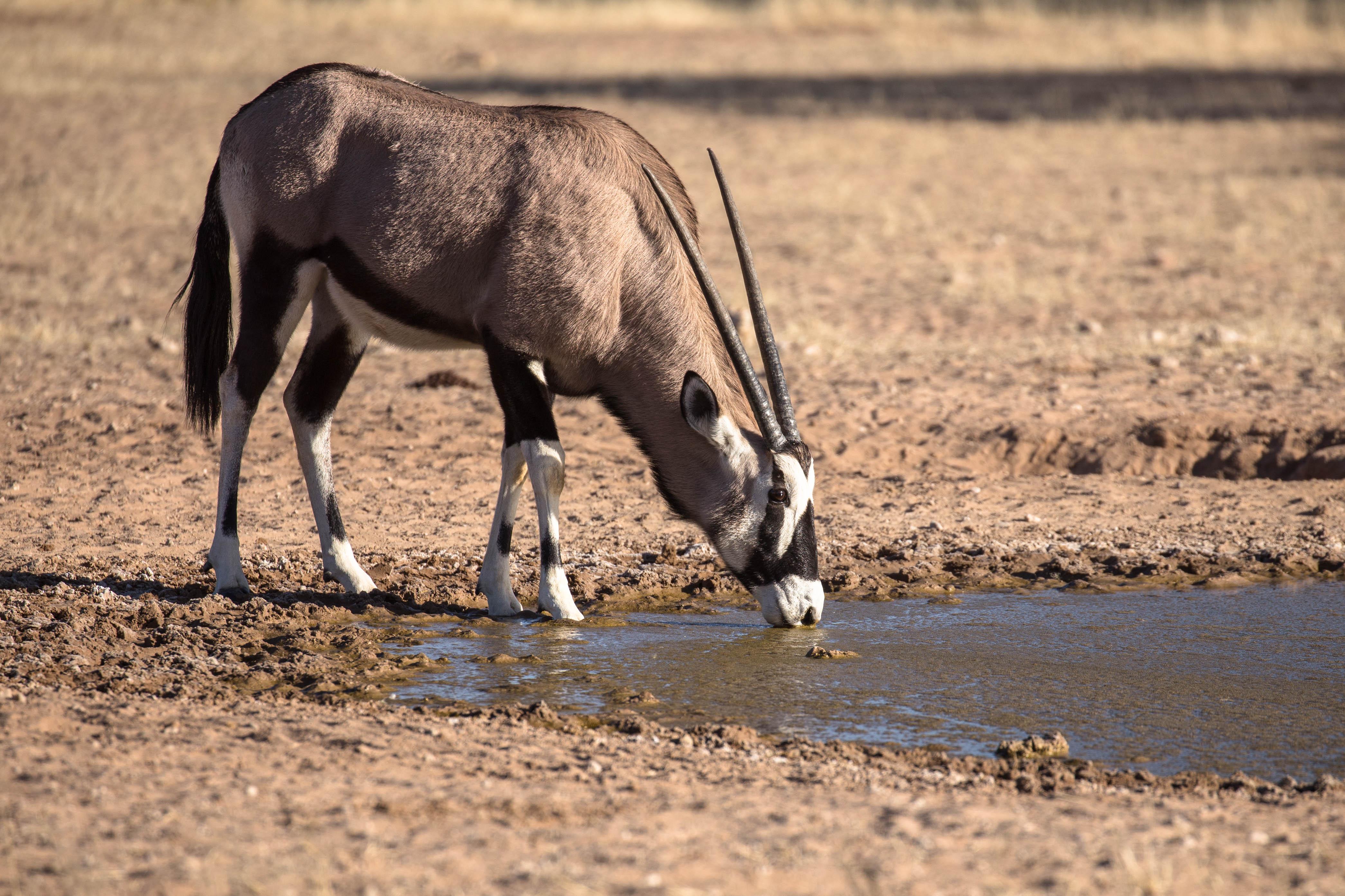 Oryx am Wasserloch