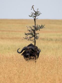 Serengetiimpression