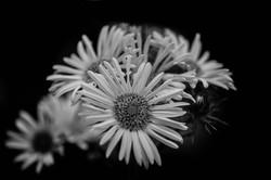 Blüten s_w