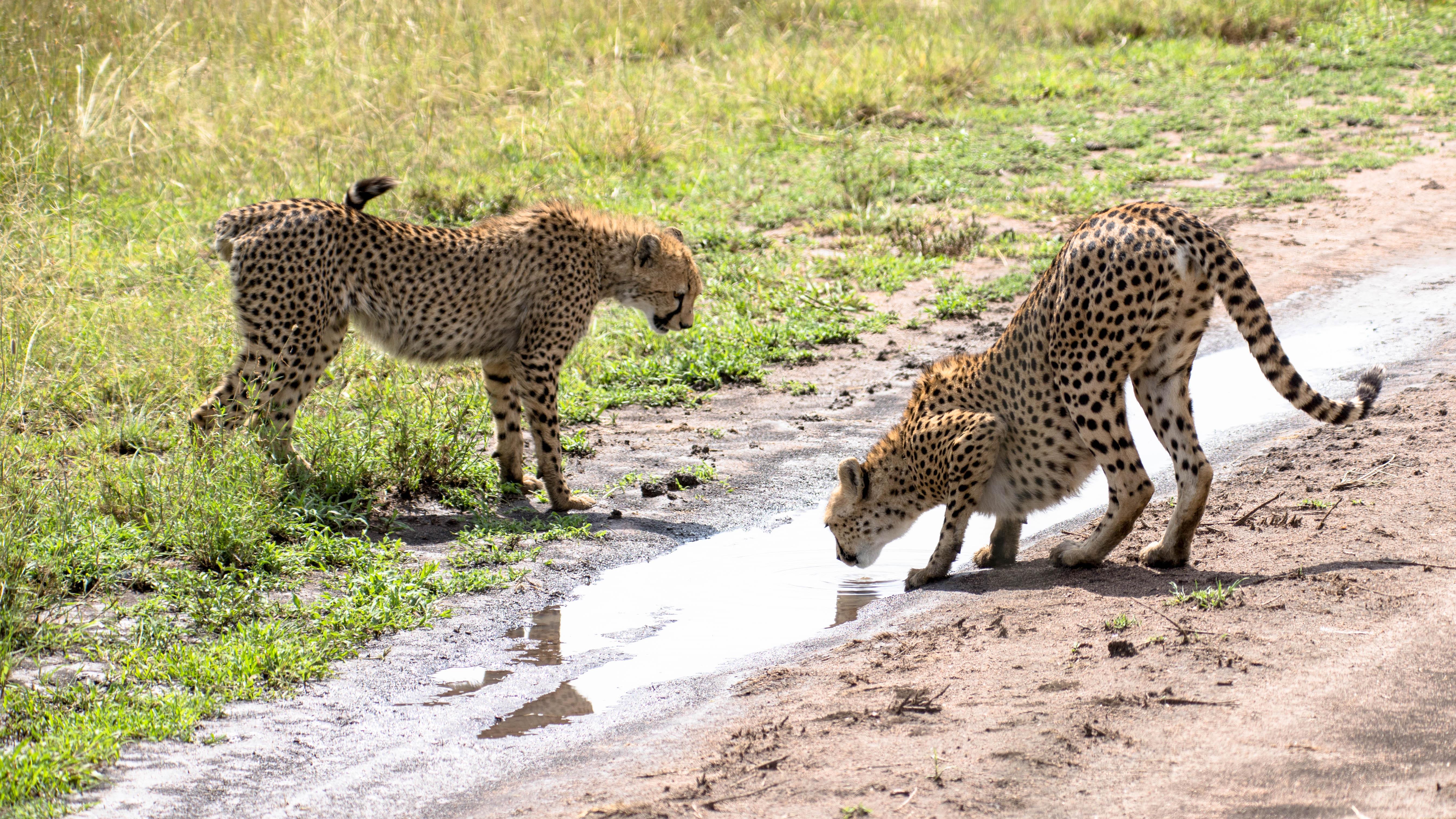 Auch Geparden haben Durst