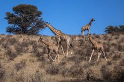 Giraffenfamilie