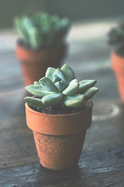 Live Succulent