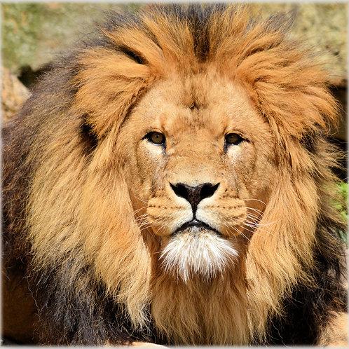 Lion, Lion, Lion Mini LRT