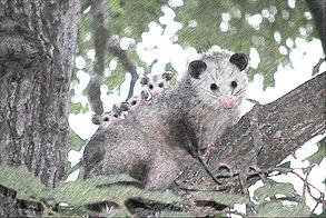possum-1802326_1280_FotoSketcher.jpg