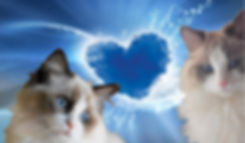 Nos Amours de Ragdolls