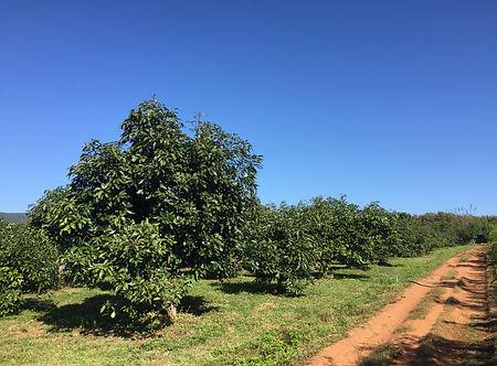 D&L Avocado Orchard