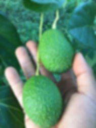 D&L Hass avocados สวนอโวคาโด