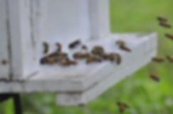 D&L Farm Honey Bees,เลี้ยงผึ้งในสวนอโวคาโด