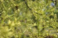 Stingless bee in D&L Avocado Orchar, ชันโรงในสวนอโวคาโด