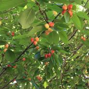 Persimmon Tree.JPG