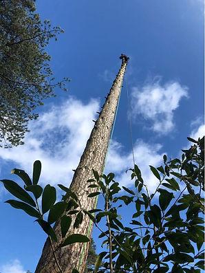 Tree surgery - Heathfield