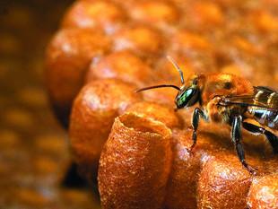 Ipaam autoriza produção de mel de abelha-sem-ferrão em Itapiranga