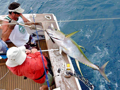 Gaffed Yellowfin Tuna