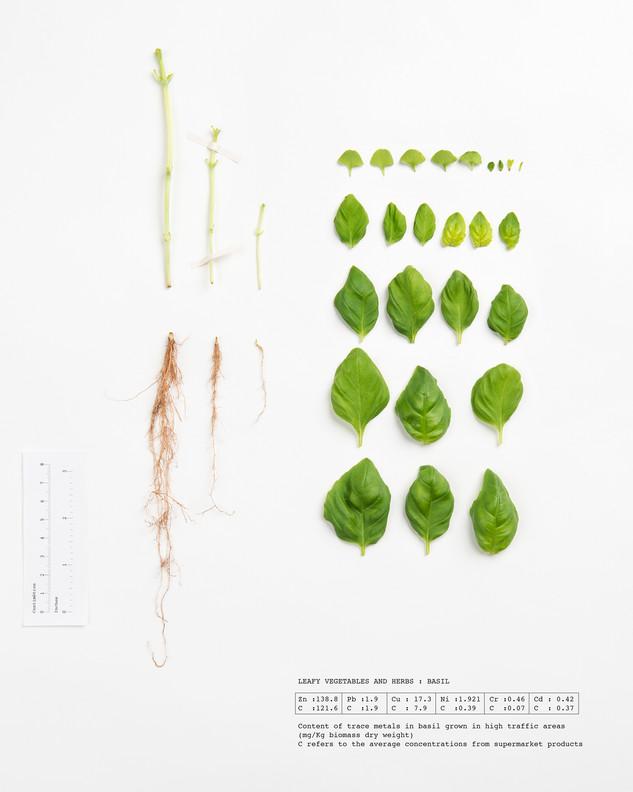 Herbarium Basil