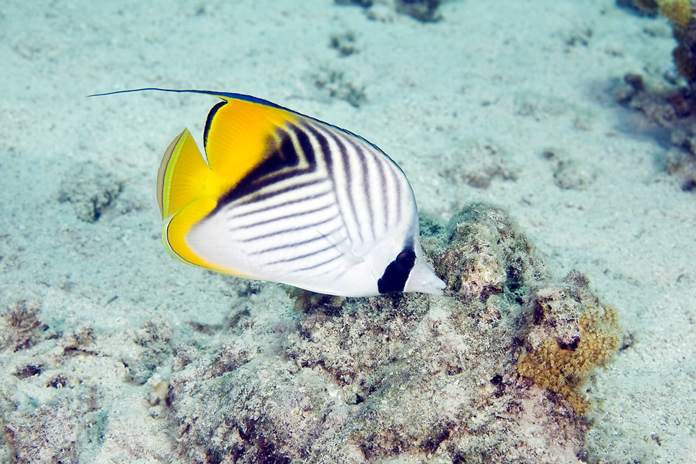 Butterfly Fish Tropical Snorkel St John