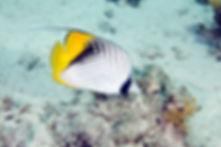 Falterfisch