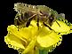 Apis_mellifera_-_Brassica_napus_-_Valing