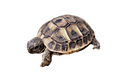 testudo_hermanni_02_edited.png